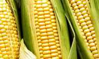 La cosecha de maíz fue mayor a la prevista
